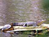 Turtle and Alligator in Pond at Magnolia Plantation  Charleston  South Carolina  USA