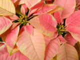 Christmas Royal Poinsettia