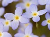 Prostrate Bluets  Great Smoky Mountains National Park  Tennessee  USA