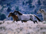 Kiger Mustang Wild Horses  USA