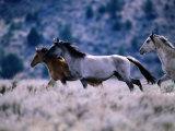 Kiger Mustang Wild Horses  USA