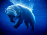 Polar Bear (Ursus Maritimus ) Underwater  USA