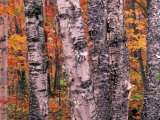 Forest Landscape and Fall Colors on Deciduous Trees  Lake Superior National Forest  Minnesota  USA