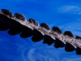 American Alligator Tail Details  Everglades National Park  Florida  USA