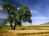 Lone Tree in Harvest Time Field  Palouse  Washington  USA