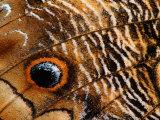 Wing Pattern on Owl Butterfly