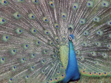 Peacock Displaying Feathers  Venezuela