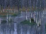 Trees Reflected in Pond along Firehole Lake Drive  Yellowstone National Park  Wyoming  USA