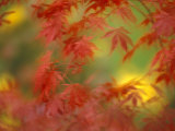 Fall-Colored Maple Leaves