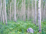 Aspen Grove in McClure Pass  Colorado  USA