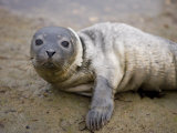Baby Harbor Seal in Marquoit Bay  Brunswick  Maine  USA