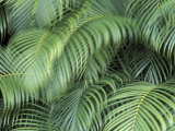 Palm Fronds  Big Island  Hawaii  USA