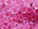 Azalea Rhododendron