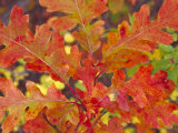 Red Oak Leaves  Colorado  USA