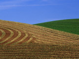 Cut Hayfield and Wheat in the Palouse  Whitman County  Washington  USA