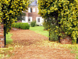 Yellow Jessamine at Gated Entry to Boone Hall Plantation  South Carolina  USA