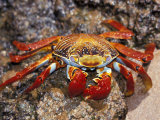 Sally Lightfoot Crab on the Galapagos Islands  Ecuador