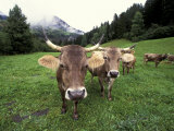 Swiss Brown Cows at Umbrail Pass  Switzerland