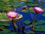 Water Lilies in Reflecting Pool at Palm Grove Gardens  Barbados