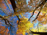 Forest Canopy in Autumn  Jasmund National Park  Island of Ruegen  Germany