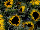 Close View of Sunflowers in a Bundle