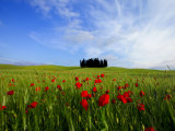 Poppies in a Wheatfield and Cypresses