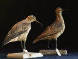Extinct Eskimo Curlews in an Exhibit