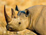 Black Rhinoceros at Halali Resort  Namibia