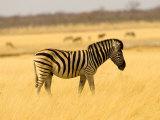Zebra in Golden Grass at Namutoni Resort  Namibia