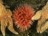 Sea Stars and a Sea Anemone Color the Bottom of the Gulf of Maine
