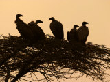 Silhouetted Vultures in an Acacia Tree at Sunset