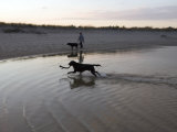 Twp Black Labradors Running on Beach in Cape Cod  United States