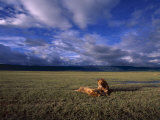 A Pair of African Lions Resting on a Savanna Under a Cloud-Filled Sky