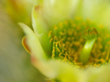 Close View of a Teddy Bear Cholla Cactus Flower