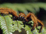 Close-up of Tarantula on Fern  Madagascar