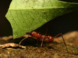 Close-up of Leaf Cutting Ant (Atta Sexdens) Carrying Leaf