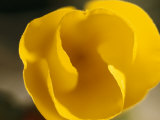 Close View of a California Poppy Flower