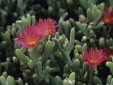 Carpobrotus Succulent Plants with Their Flowers