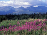 Fireweed Blooms near Kluane National Park  Yukon  Canada