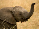 Portrait of a Baby African Elephant with Its Trunk Raised (Loxodonta Africana)