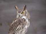 A Captive Great Horned Owl at a Recovery Center