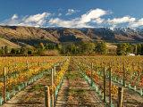 Vineyard and Pisa Range  Central Otago  South Island  New Zealand