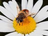 Drone Fly  Earistalis Species  a Honey Bee Mimic  Feeding on Nectar