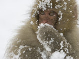 Big-Eyed  Snow-Covered Baby Snow Monkey (Macaca Fuscata)