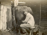 Farmworker Milks a Cow by Hand in a Very Primitive Cow- House