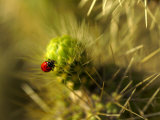A Ladybug on the Spikes of a Cholla Cactus