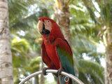 Parrot at Radisson Resort  Palm Beach  Aruba  Caribbean