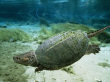 An Algae Dappled Snapping Turtle Swimming in a Clear Spring