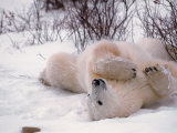 Polar Bear in Churchill  Manitoba  Canada