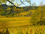 Autumn Morning in Pouilly-Fuisse Vineyards  France